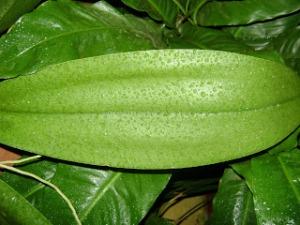orquidea - pulverização