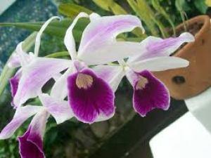 orquidea - white